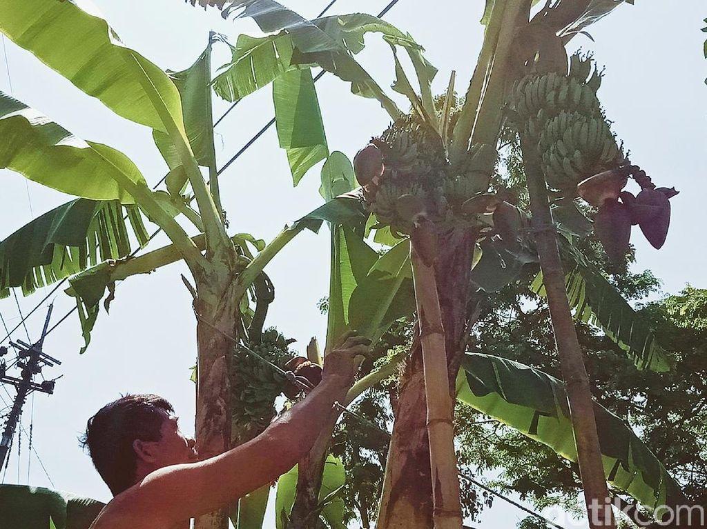 Pohon Pisang Unik di Klaten, Bertandan 4 dan Berjantung 5