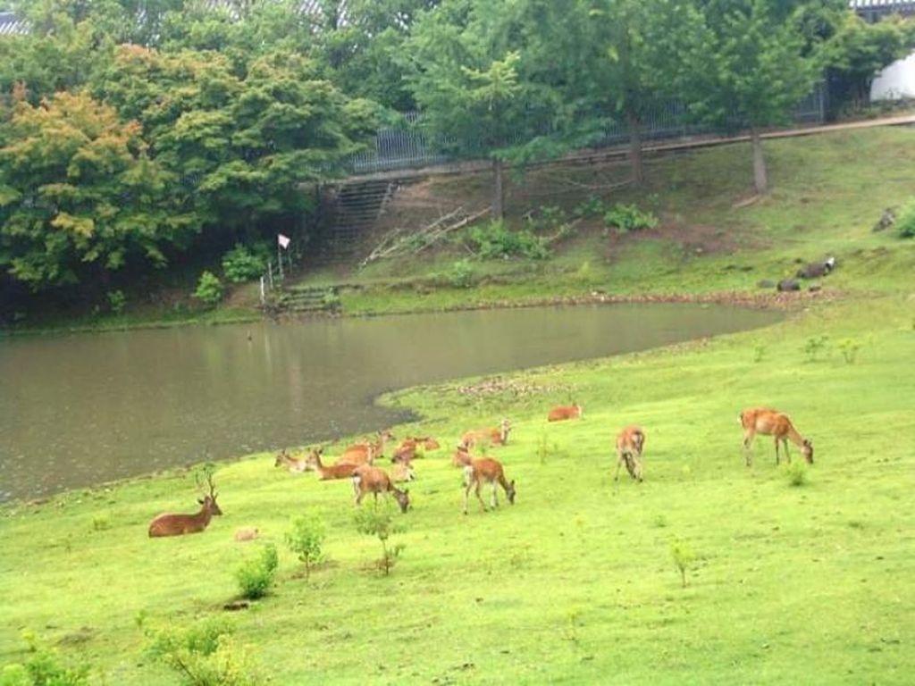 Tak Ada Turis, Rusa di Taman Nara Kehilangan Berat Badan