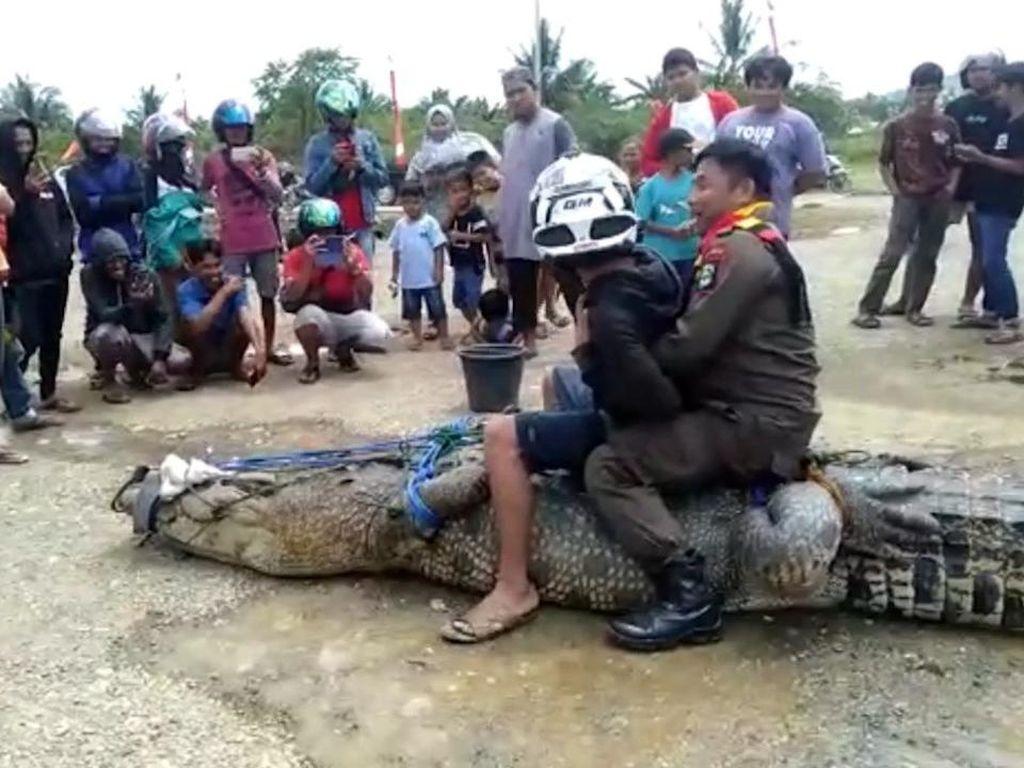 Warga Tangkap-Duduki Buaya yang Terkam Pemuda di Mamuju Tengah