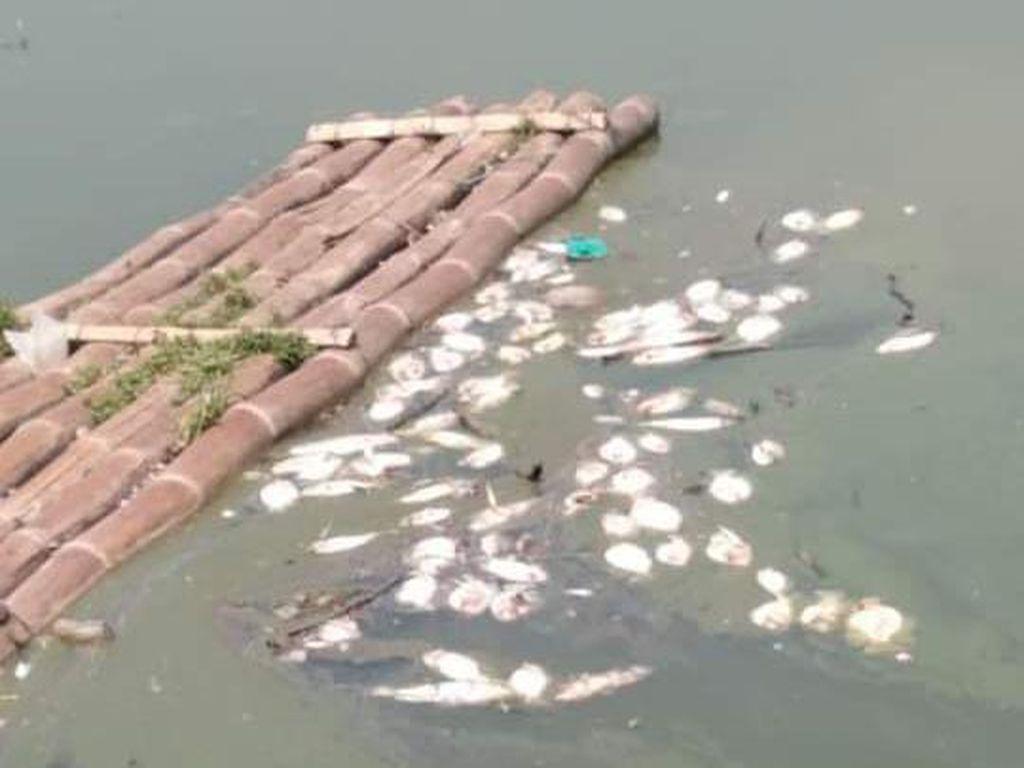 Ikan-ikan di Rawa Jombor Klaten Mati Mendadak, Kenapa?