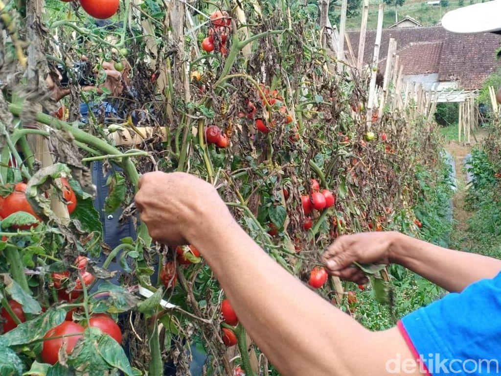 Petani di Lembang Keluhkan Harga Tomat-Cabai Anjlok Gegara Pandemi