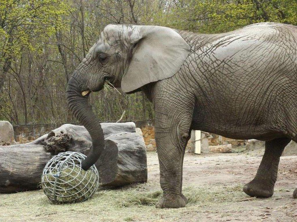 Sedih, Gajah Afrika Tertua di Amerika Utara Meninggal Dunia