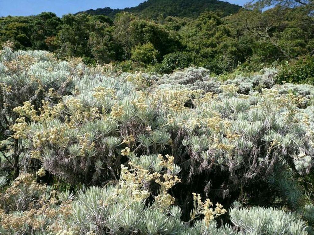 Foto: Bunga Edelweiss Gunung Gede, Cantikmu Abadi