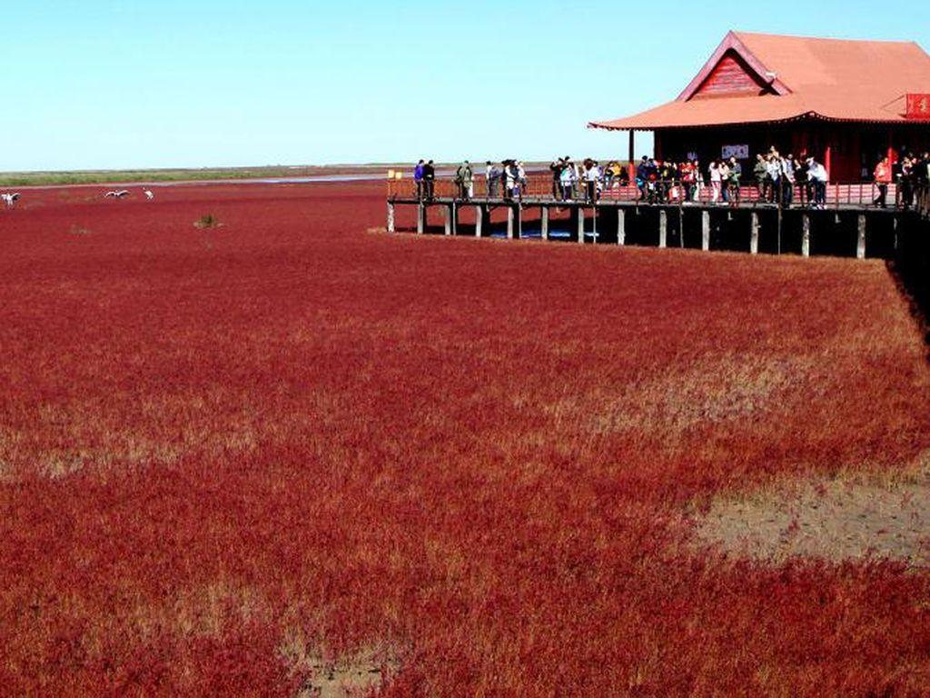 Pantai Merah China Memerah Kembali