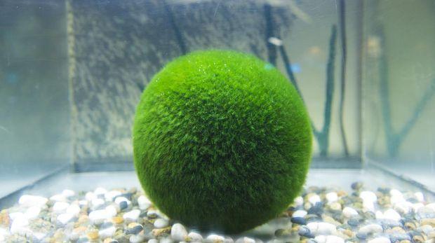 The Marimo Moss Ball is a beautiful spherical algae ball, originating in Japan. Origin from lake Akan.