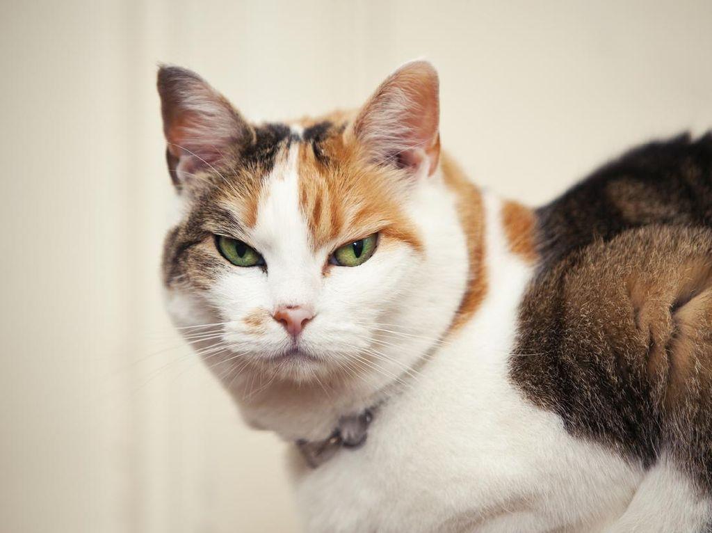 Bulu Kucing Penyebab Penyakit Asma, Mitos atau Fakta?