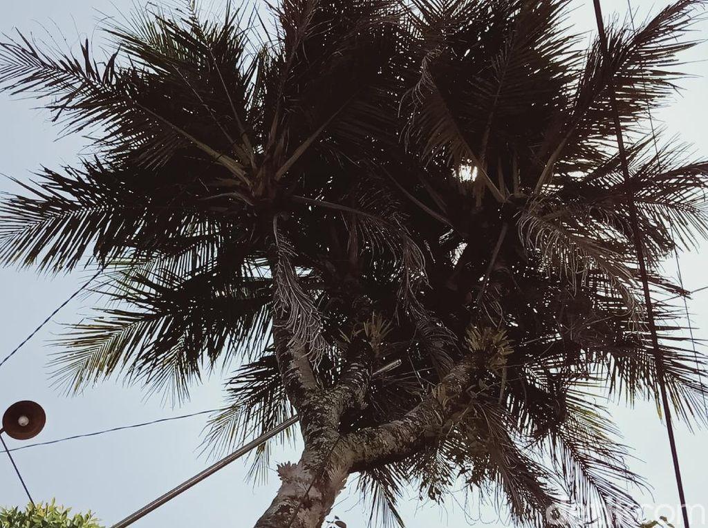 Unik! Pohon Kelapa Ini Bercabang 9, Katanya Pernah Mau Ditukar Mobil