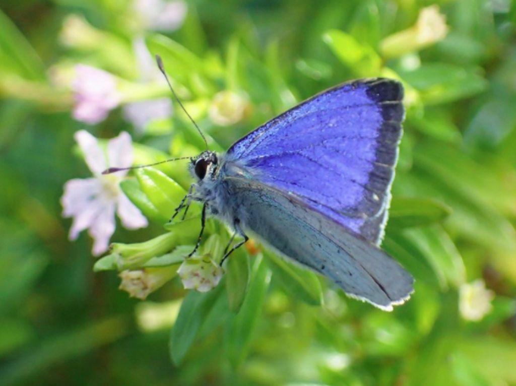 Sedih, Spesies Kupu-kupu Asli Jepang Punah