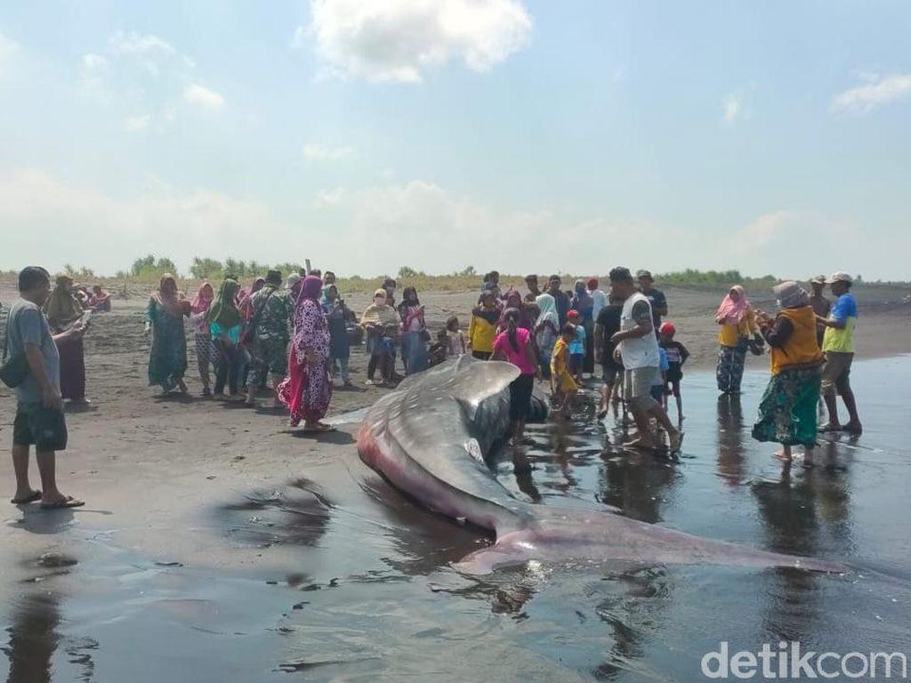Hiu Tutul Sepanjang 10 Meter Mati Terdampar di Pantai Jember