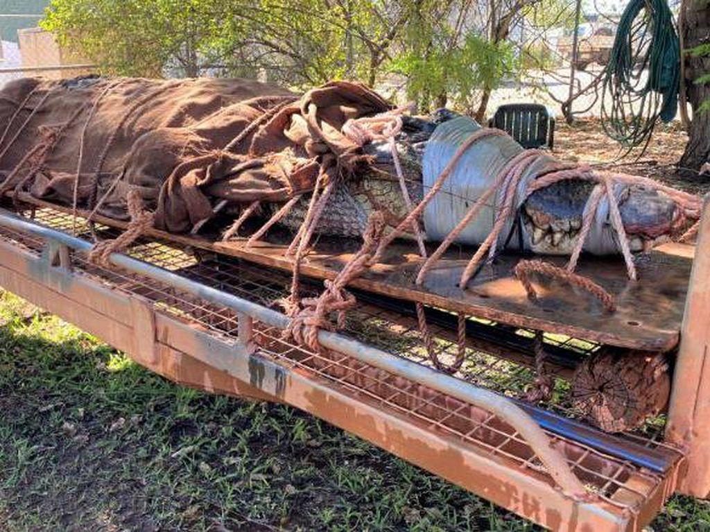 Buaya Sepanjang 4,4 Meter Ditangkap di Area Wisata Australia