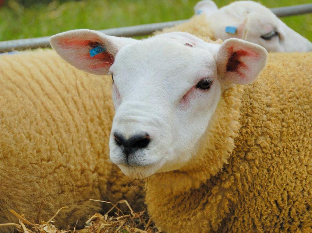 Ini Penampakan Domba Termahal Sedunia, Harganya Rp 7 Miliar!
