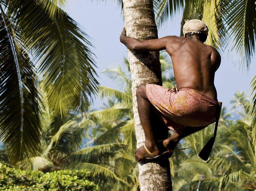 Pemetik Kelapa Ini Panjat Pohon 25 Meter untuk Panen 2.000 Kelapa Tiap Hari