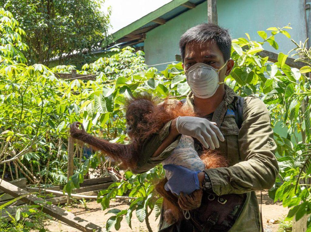 Kurus Diberi Makan Nasi-Jambu Monyet, Orang Utan Dievakuasi BKSDA Kalbar