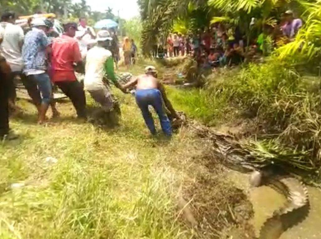 Hanyut Terbawa Air Pasang ke Permukiman, Buaya Muara 3 Meter Dievakuasi