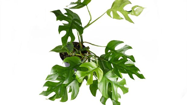 Full tropical  'Rhaphidophora Tetrasperma' house plant with small leaves with holes, also called 'Monstera Minima' or 'Piccolo' in plastic flower pot isolated on white background