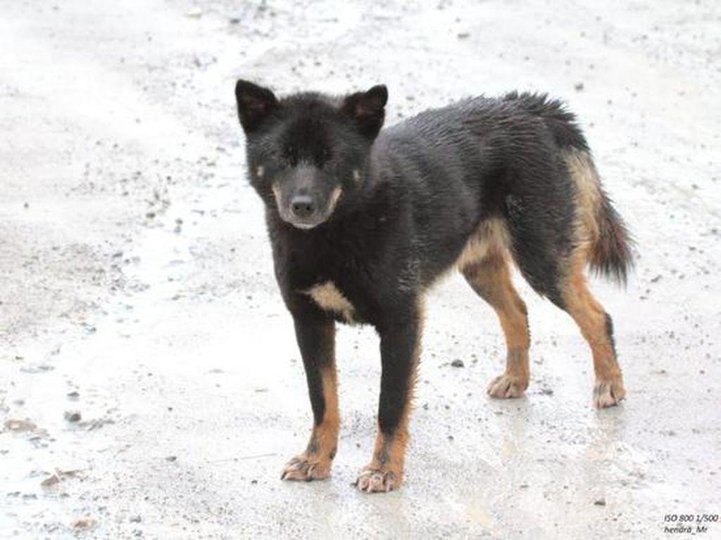 Anjing Bernyanyi yang Disangka Punah Ditemukan Lagi di Papua!
