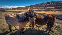 Tren Wisata Baru Jelajah Islandia Naik Kuda, Mau Coba?