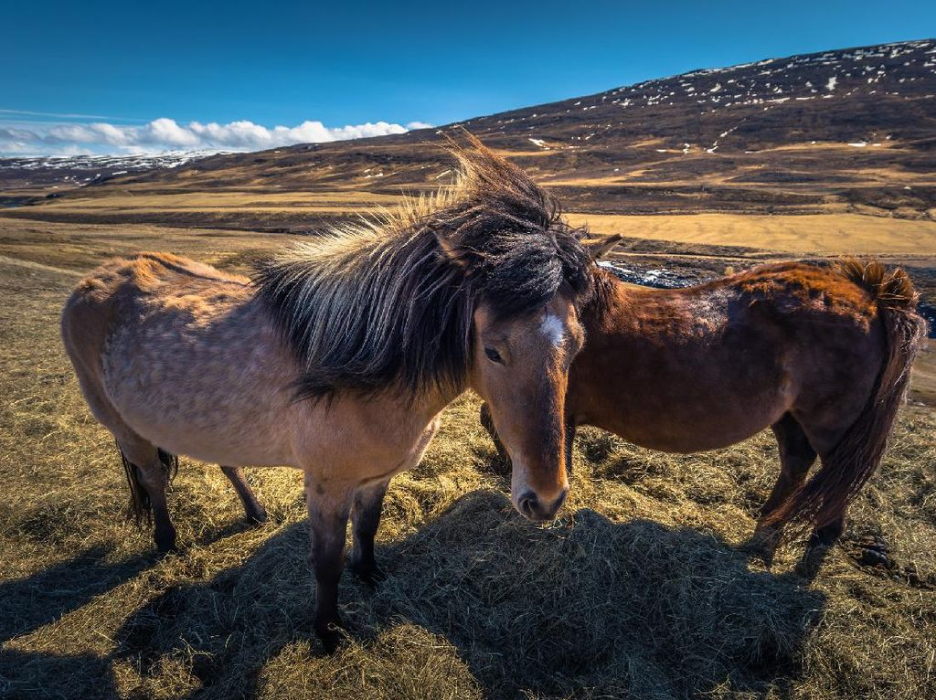 Foto: Wisata Naik Kuda di Islandia yang Eksotis