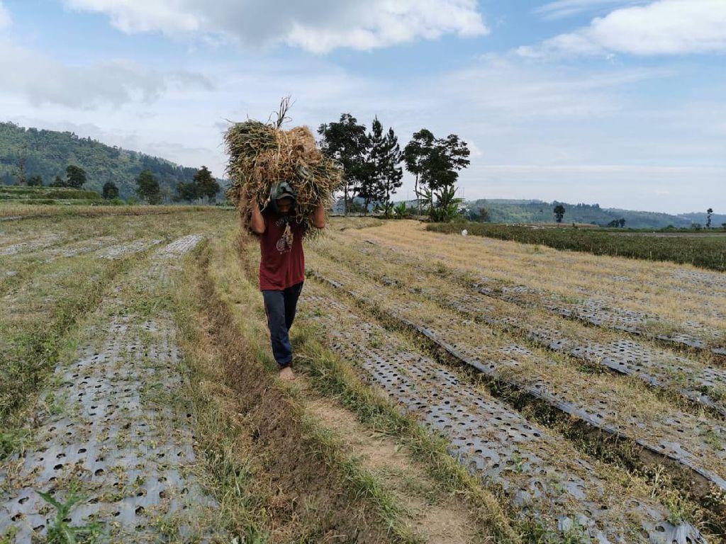 Pak Mentan, Petani Bawang Putih Bingung Nih Jual Hasil Panen