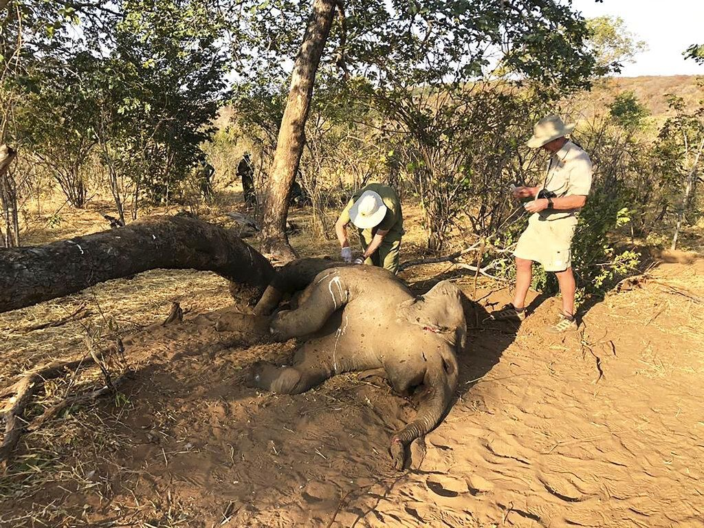 Dampak Kekeringan, Puluhan Gajah Zimbabwe Ditemukan Mati