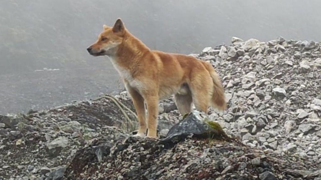 Anjing Bernyanyi yang Bangkit dari Kepunahan di Papua