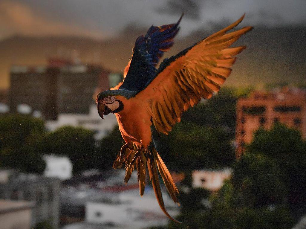 Potret Burung Macaw Terbang di Langit Caracas