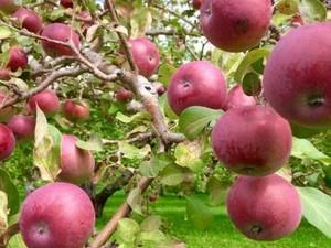 Sensasi Panen Apel di Quebec, Kanada