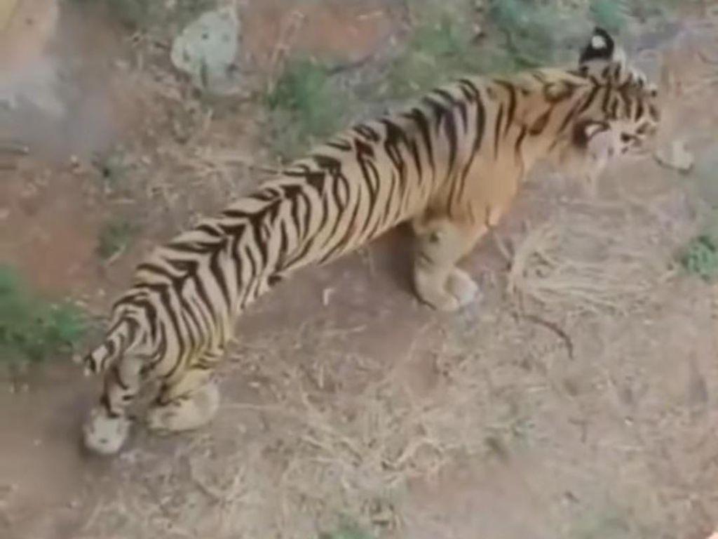 Rasa Iba ke Harimau Kurus Berujung Permintaan Maaf Karena Viral