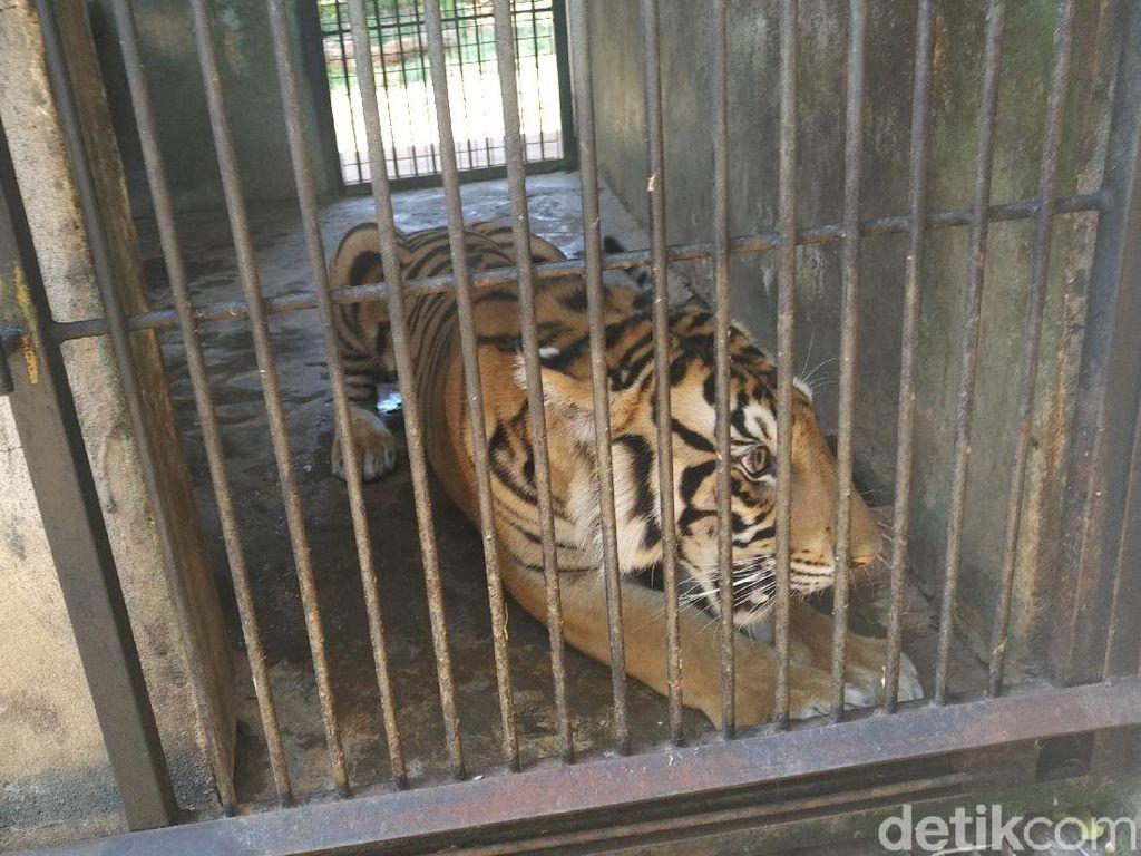 BKSDA Kasih Saran ke Maharani Zoo Tangani Harimau yang Viral Kurus