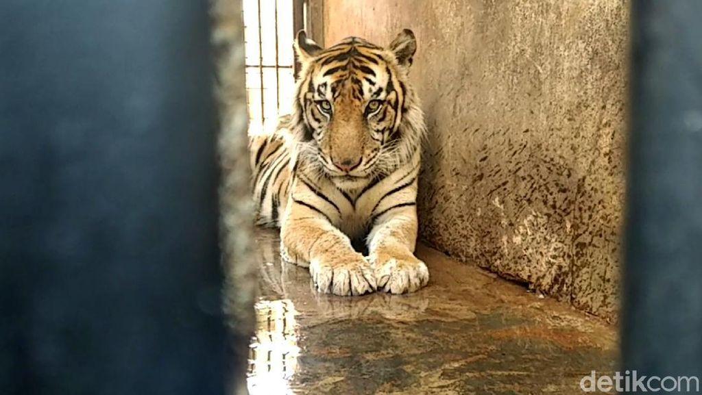 BKSDA Terjun Langsung Tangani Harimau Kurus di Maharani Zoo