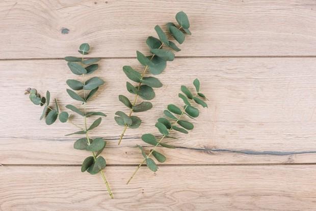 Air rebusan daun kayu putih dapat mengobati batuk berdahak.
