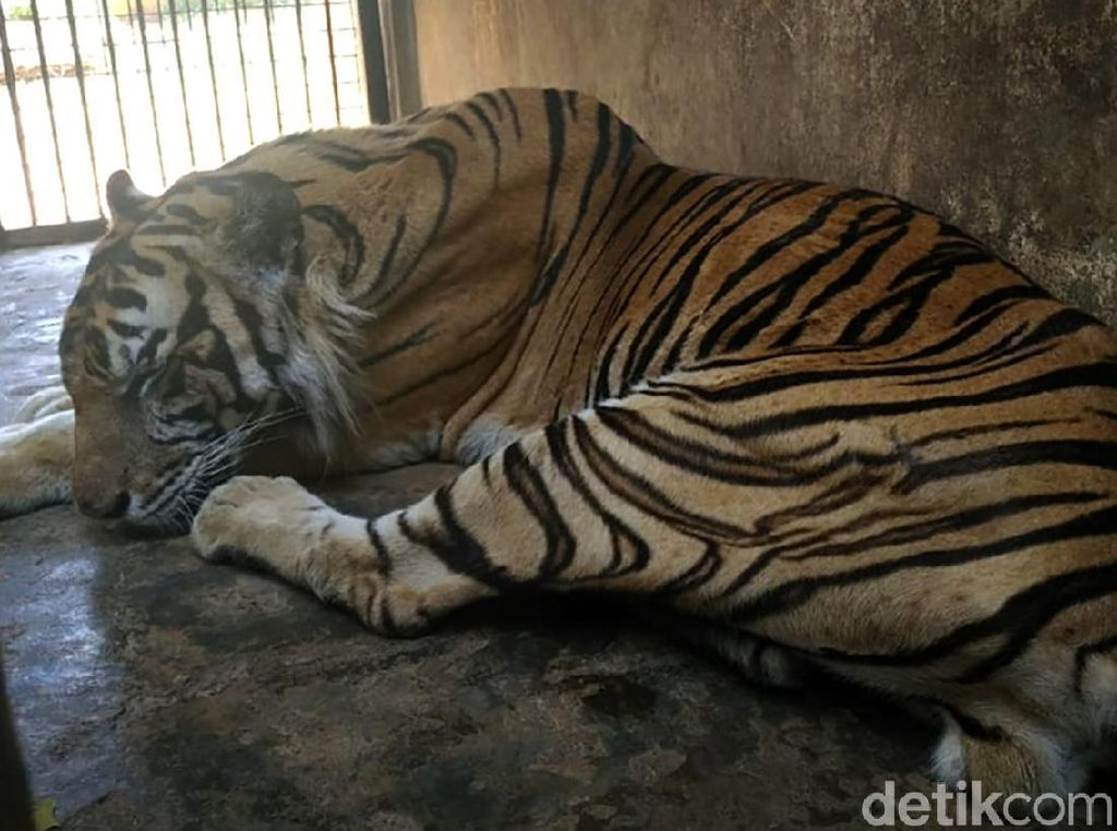 Foto-foto Viral Harimau Kurus di Maharani Zoo