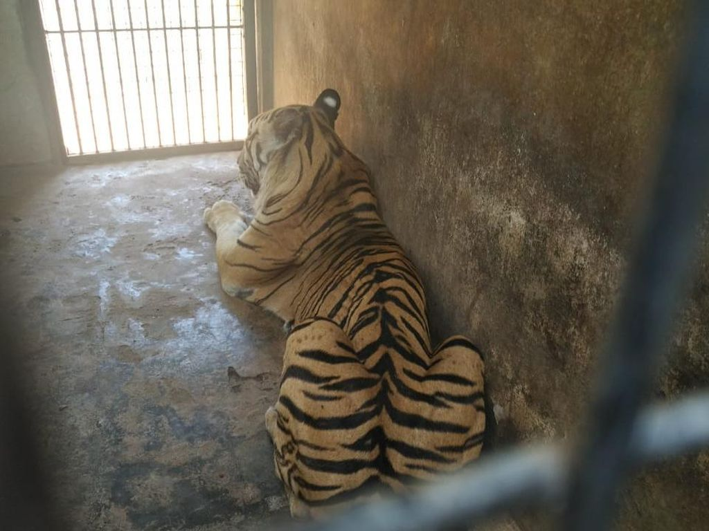 Harimau Maharani Zoo Diviralkan Kurus, Berapa Berat Badannya?