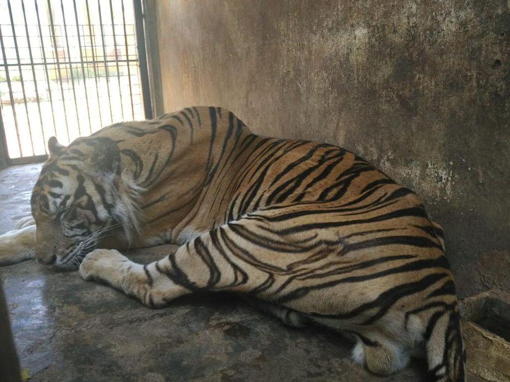 Ini Penjelasan Dokter Hewan Soal Harimau Maharani Zoo yang Terlihat Kurus