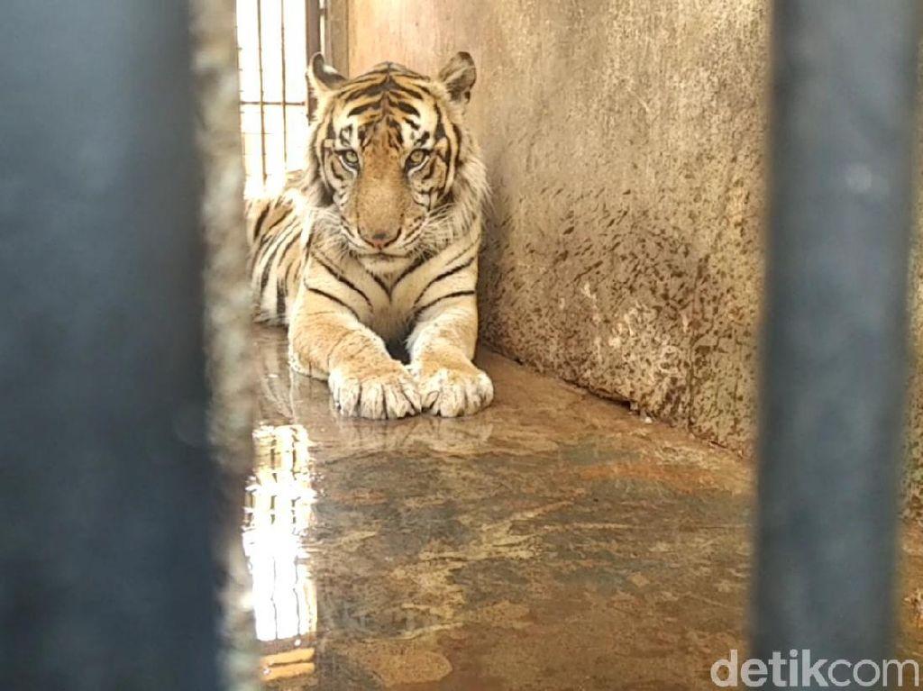 Harimau Maharani Zoo Diviralkan Kurus, Begini Faktanya
