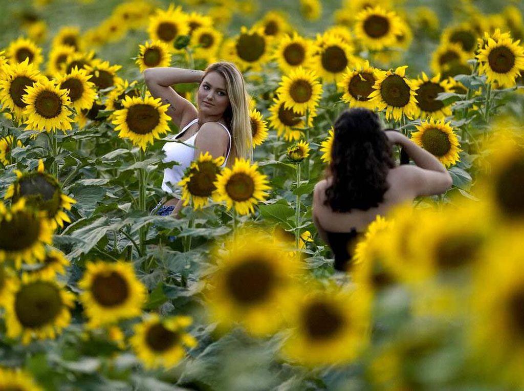Semarak Bunga Matahari yang Mekar di Kansas