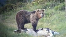 Papillon, Beruang Ini Hobi Kabur dari Kebun Binatang