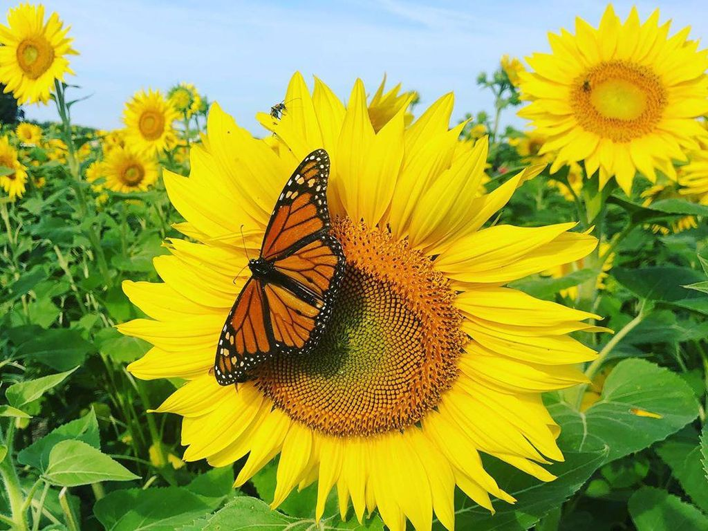 Potret Hamparan Kebun Bunga Matahari nan Cantik