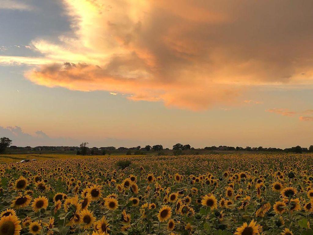 Di Tengah Pandemi, Petani Ini Tanam 2 Juta Bunga Matahari