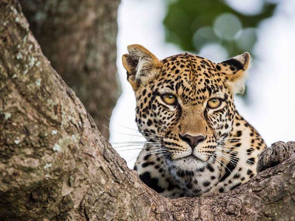 Santuy Banget, Macan Tutul Ini Berkeliaran Kelilingi Restoran