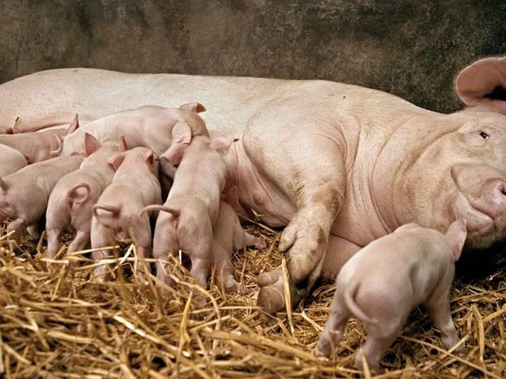 Kenapa Susu Babi Tak Umum Diminum Manusia?
