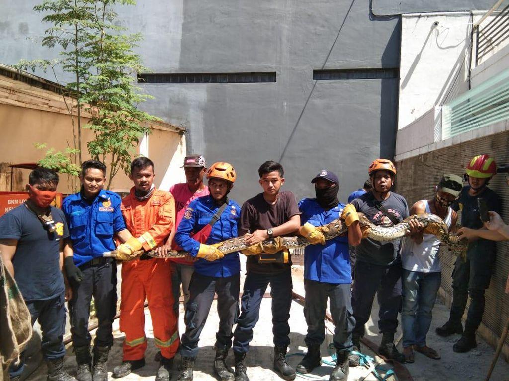 Bikin Tidur Warga Makassar Tak Nyenyak, Ular Piton 4 Meter Ditangkap
