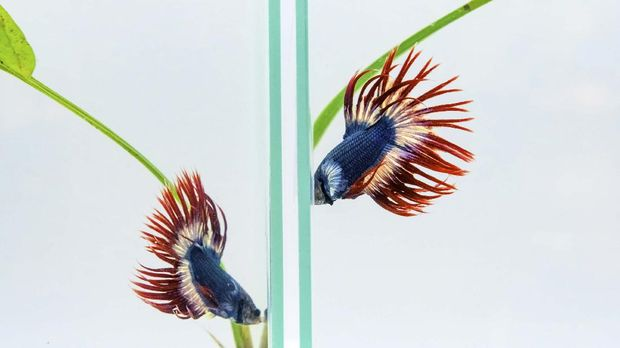 Two Siamese fighting fish also known as Plakad or Betta fish swim in adjasent aquariums at the International Plakad Competition in Bangkok on September 6, 2020. (Photo by Mladen ANTONOV / AFP)