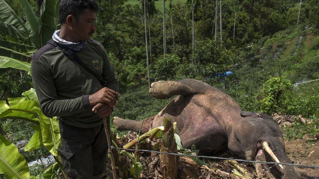 Gajah Liar Mati di Pidie Aceh