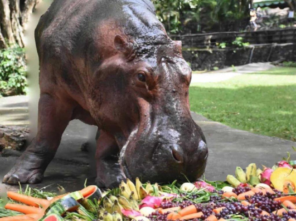 Kuda Nil Ulang Tahun Setengah Abad, Dirayakan Satu Kebun Binatang