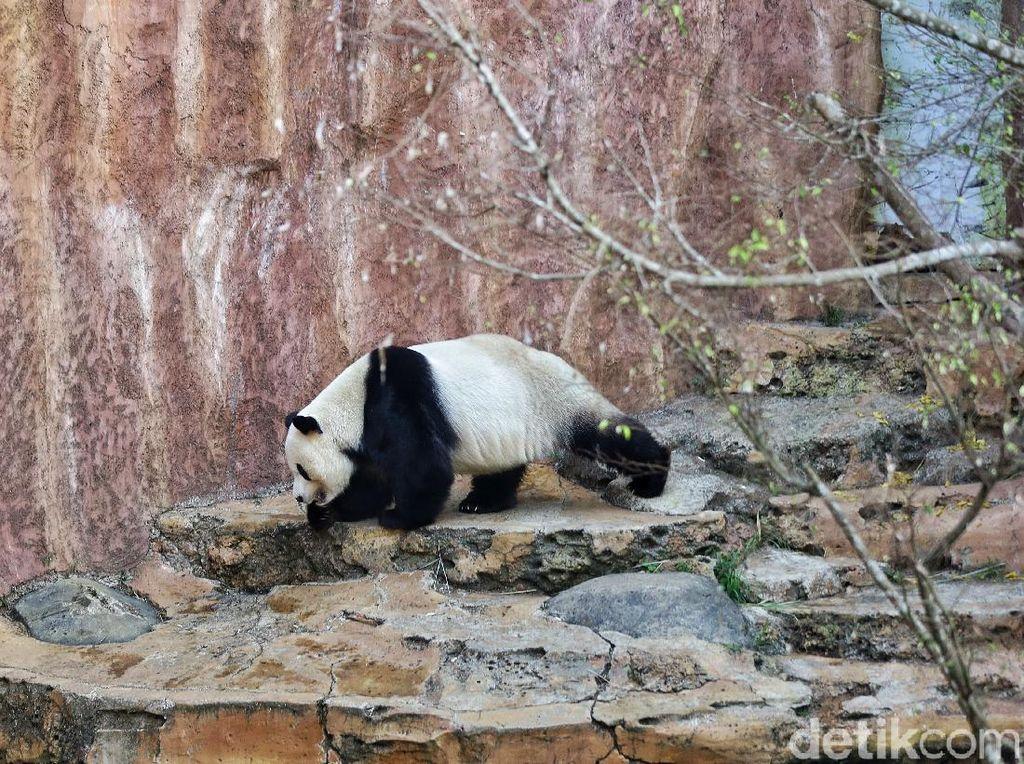Panda Imut Juga Bisa Ngamuk, Pengasuhnya Terluka