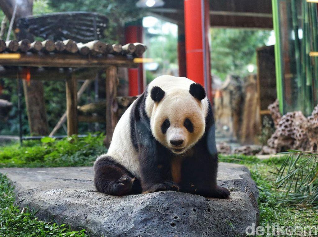 Mengenal Si Gembul Giant Panda