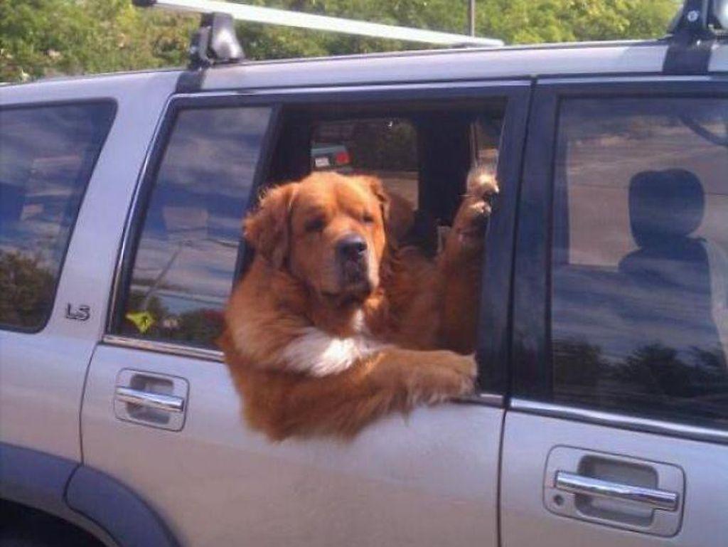 Potret Anjing-anjing Bergaya Saat Naik Mobil