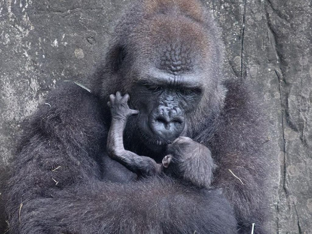 Sedih, Bayi Gorila yang Terancam Punah Mati di Usia 6 Hari