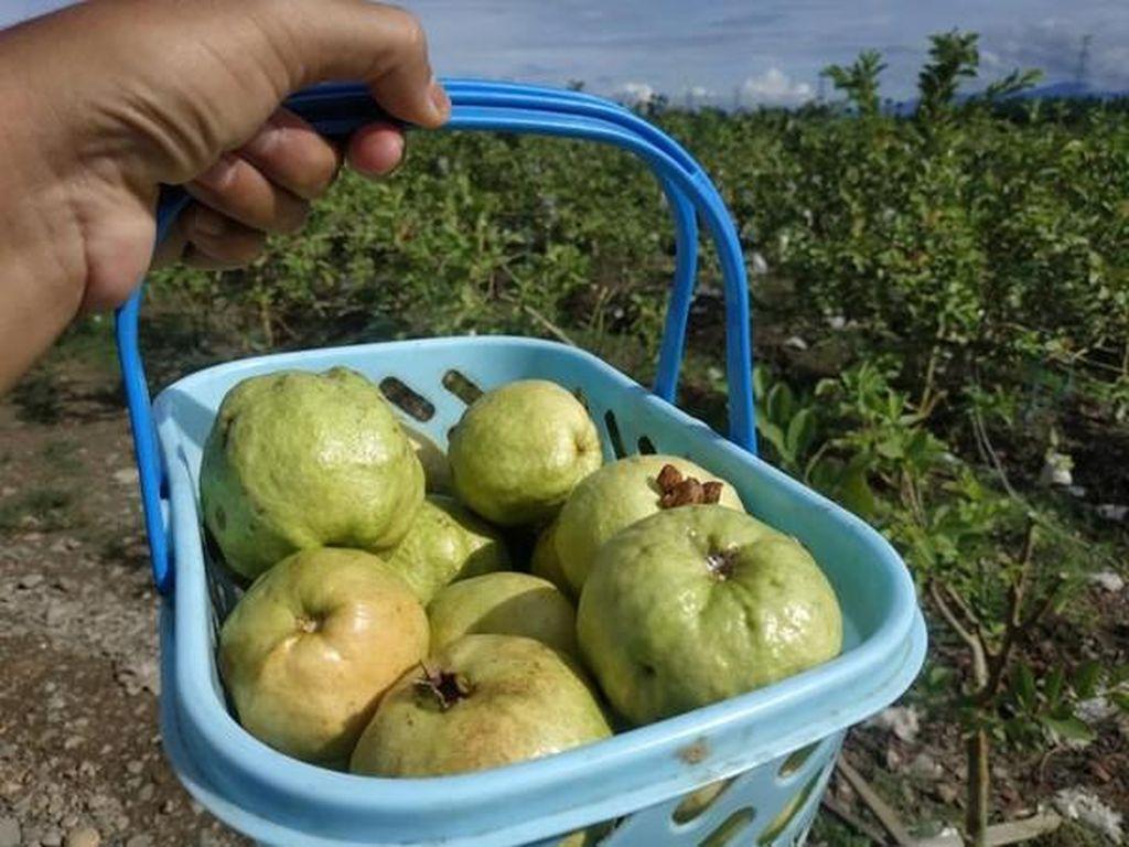 Aceh Punya Wisata Kebun Jambu Super Luas